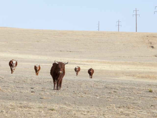 Cows in Dry Pasture_7903