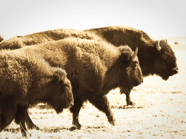 Where the Buffalo Roam_1883